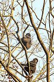 Phayre's leaf monkey or Phayre's langur (Trachypithecus phayrei) group in a tree, Trishna wildlife sanctuary, Tripura state, India
