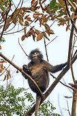 Phayre's leaf monkey or Phayre's langur (Trachypithecus phayrei) in a tree, Trishna wildlife sanctuary, Tripura state, India
