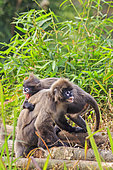 Phayre's leaf monkey or Phayre's langur (Trachypithecus phayrei) and young on ground, Trishna wildlife sanctuary, Tripura state, India