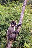 Phayre's leaf monkey or Phayre's langur (Trachypithecus phayrei) on a branch, Trishna wildlife sanctuary, Tripura state, India