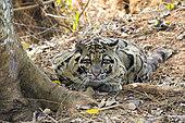 Clouded leopard (Neofelis nebulosa) lying on ground, Trishna wildlife sanctuary, Tripura state, India