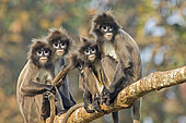 Phayre's leaf monkey or Phayre's langur (Trachypithecus phayrei) group on a branch, Trishna wildlife sanctuary, Tripura state, India