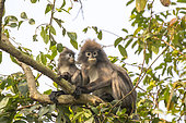 Phayre's leaf monkey or Phayre's langur (Trachypithecus phayrei) and young in a tree, Trishna wildlife sanctuary, Tripura state, India