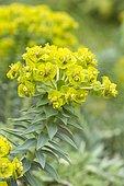 Silver spurge (Euphorbia rigida)