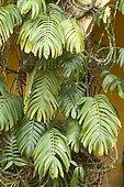 Creeping Philodendron (Rhaphidophora decursiva)