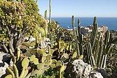 Polka dot Cactus (Opuntia microdasys) and Cereus, Jardin exotique de Monaco