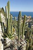 Cactus, Jardin exotique de Monaco