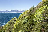 Tree spurge (Euphorbia dendroides), Cap Ferrat. Saint-Jean-Cap-Ferrat, Alpes-Maritimes, France