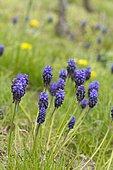 Starch grape hyacinth (Muscari neglectum) flowers in vineyard