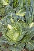 Cone cabbage (Brassica oleracea var. capitata f. acuta) and Leek (Allium porum)