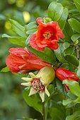 Pomegranate (Punica granatum 'Provence')