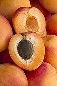 Apricot 'Tom Cott' (Prunus armeniaca)