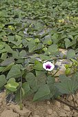 Cultivation of sweet potato (Ipomoea batatas) on tarpaulin. Lézardrieux, Côtes-d'Armor, Brittany, France.