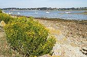 Golden Samphire (Inula crithmoides) on shore, Bugélès, Penvénan, Côtes-d'Armor. Bretagne. France.