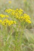 Séneçon jacobée (Jacobaea vulgaris) en fleurs