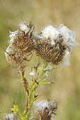 Spear thistle (Cirsium vulgare) seeds