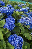 Hydrangea culture (Hydrangea macrophylla) for the production of cut flowers. Kerfot, Côtes-d'Armor, Brittany, France.