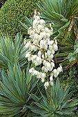 Glorious yucca (Yucca gloriosa) flowers
