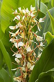 Spiked ginger Lily (Hedychium spicatum) flowers