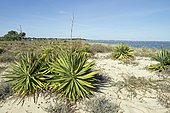 Glorious yucca (Yucca gloriosa) naturalized in Lège-Cap-Ferret, Bay of Arcachon, Gironde, France.