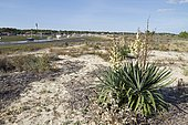 Curve-leaf yucca (Yucca gloriosa var. recurvifolia) naturalized in Lège-Cap-Ferret, Bay of Arcachon, Gironde, France.