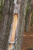 Scalloped trunk of maritime pine (Pinus pinaster) for gemmage (harvesting pine resin), Aquitaine, France