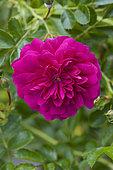 'Red Dorothy Perkins' Rose