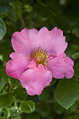 'Mela rosa' rose. Natural evolution of the flowr, from a simple fomr to a half-double form
