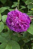 'King's Rose' rose (Portland rose)