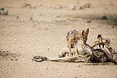 Chacal à chabraque (Canis mesomelas) et carcasse d'Eland du Cap, Kgalagadi, Afrique du Sud