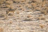 Chacal à chabraque (Canis mesomelas) au petit matin, Kgalagadi, Afrique du Sud