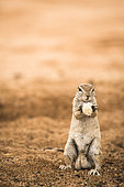 Portrait of South african ground squirrel (Xerus inauris) eating bread given by tourists, Namibia