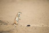 Cape ground squirrel (Xerus inauris) in desert, Kgalagadi, South Africa