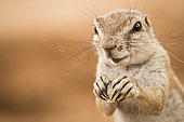 Portrait of South african ground squirrel (Xerus inauris) eating, Namibia