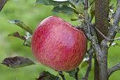 The 'Idared' apple in a garden