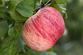 The 'Peasgood's Nonsuch' apple