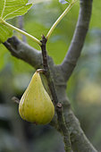 White fig 'Blanche d'Argentueil'