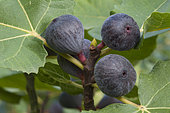Common figs 'Rouge de Bordeaux', also called 'Pastiliere' figs