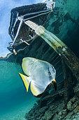 Tiera batfish (Platax teira), Misool, Raja Ampat, West Papua, Indonesia