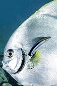 Portrait of Tiera batfish (Platax teira), Misool, Raja Ampat, West Papua, Indonesia