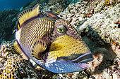 Titan triggerfish (Balistoides viridescens), Misool, Raja Ampat, west Papua, indonesia