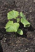 Cucumber 'Lemon' seedling