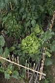 Lettuce 'Sagess', cucumber 'Lemon', tomato and pepper in a vegetable garden
