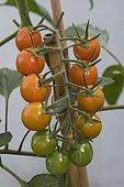 Japanese cherry tomato 'Orange Carol'