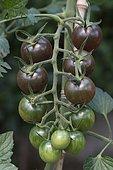 Japanese cherry tomato 'Toscana violette'