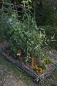 Japanese tomatoes grown outdoors with marigolds in a small vegetable garden