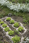 Eggshells round lettuce to discourage slugs and snails