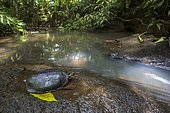 Colombian wood turtle (Rhinoclemmys melanosterna) on riverbank, Chocó colombiano (Ecuador)