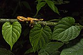 Eyelash viper (Bothriechis schlegelii) on a branch, Chocó colombiano, Ecuador