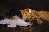 Lion (Panthera leo) near a water point, Kruger, South Africa